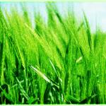 緑色加工した麦畑